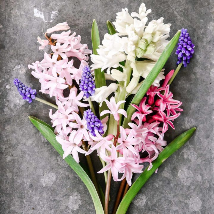 Forcing Hyacinth Bulbs Indoors