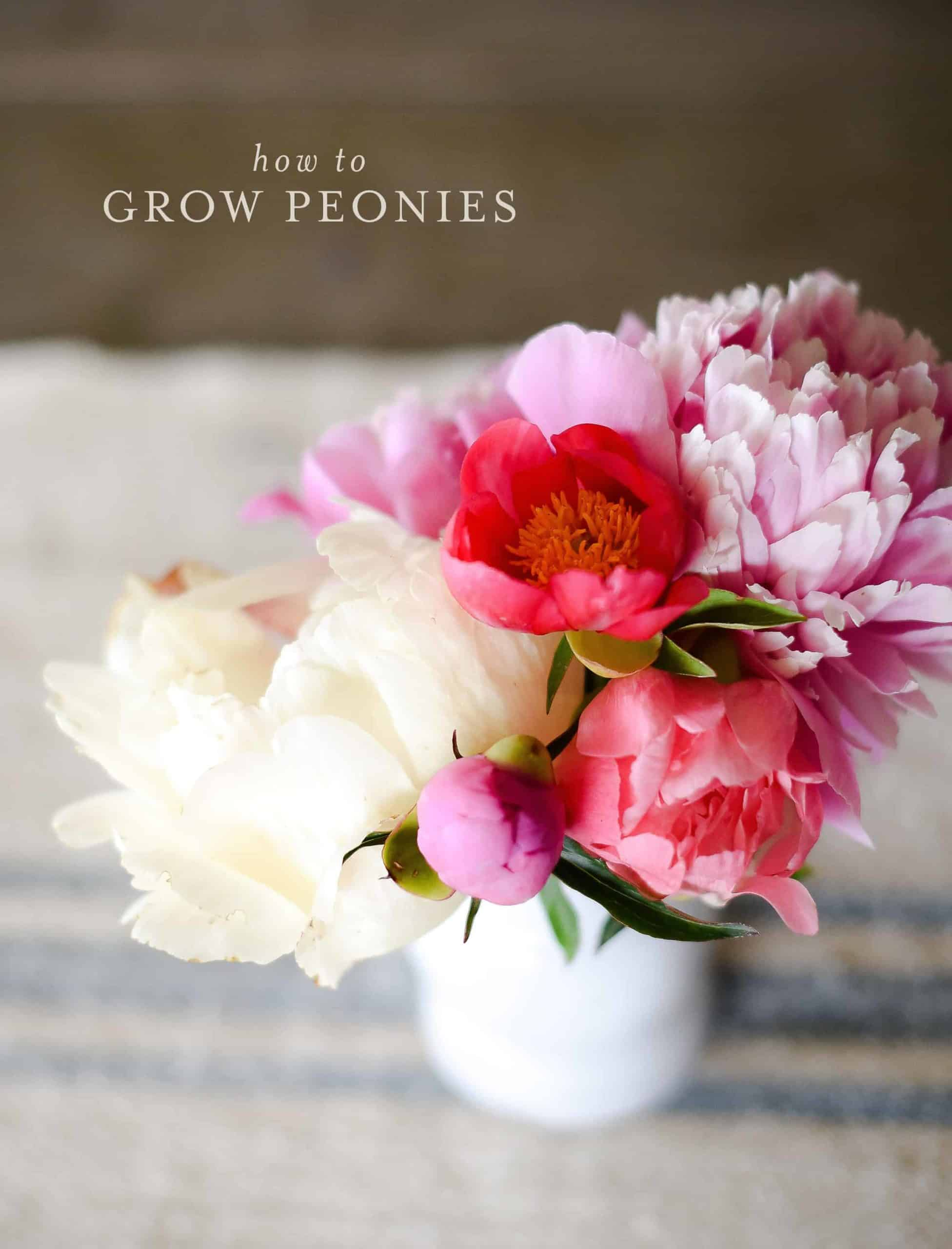 Growing peonies in your garden is a wonderful way to have beautiful cut flowers in the spring! Learn how to grow your own peonies with this simple guide!