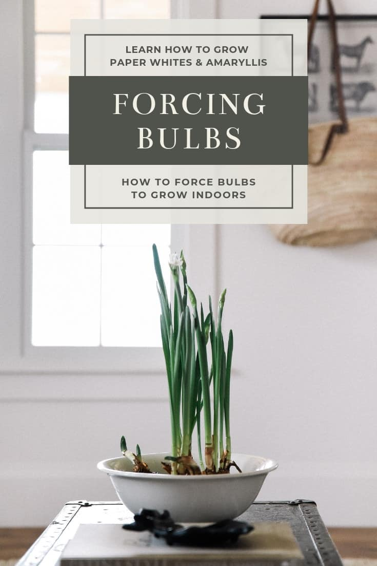 Forcing bulbs is beyond easy! Learn how to force bulbs like Paper Whites and Amaryllis indoors for beautiful blooms throughout winter and spring!