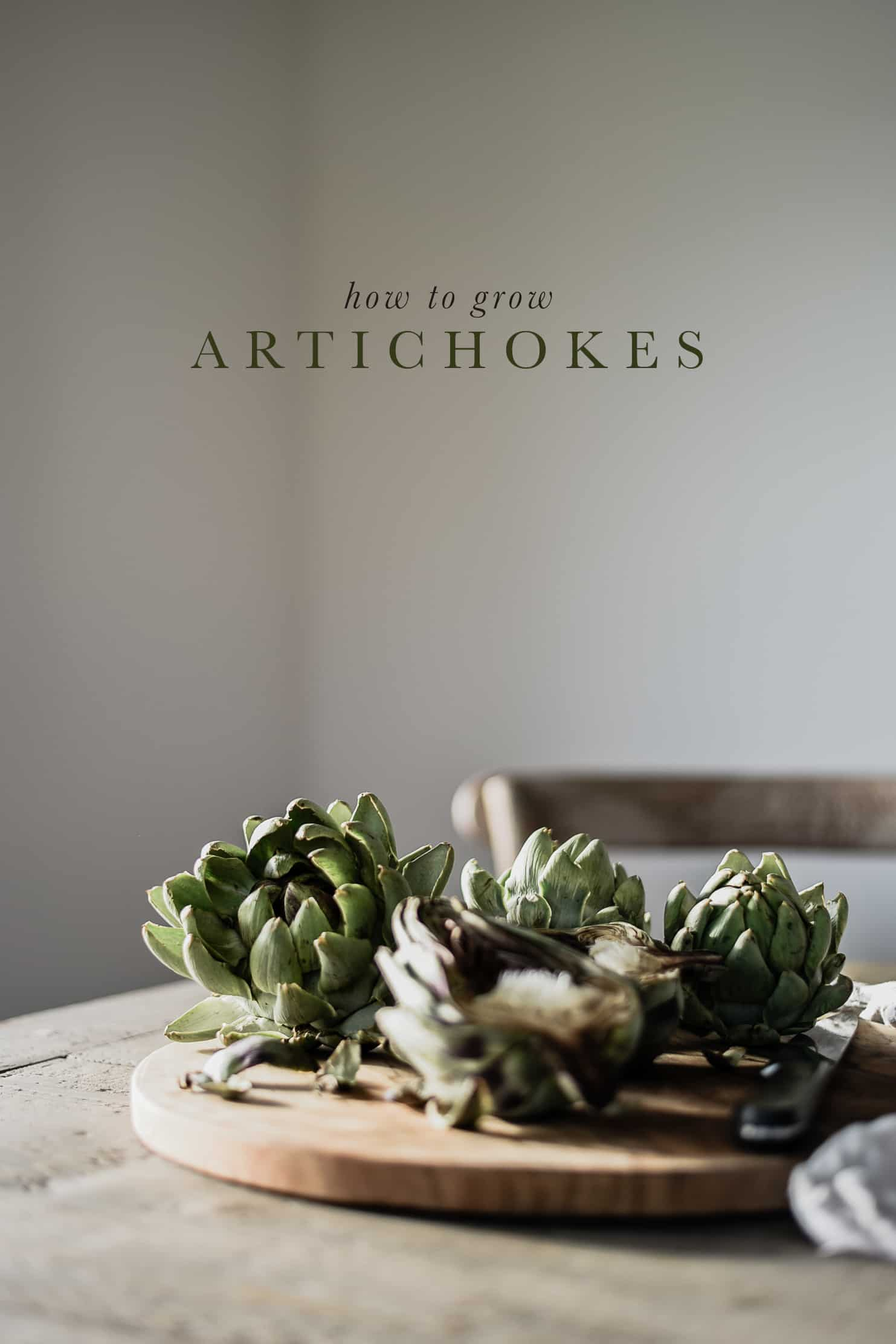 Artichokes are a hearty vegetable that can be grown in any climate, and enjoyed throughout fall!Follow this guide to learn how to grow artichokes in your garden!