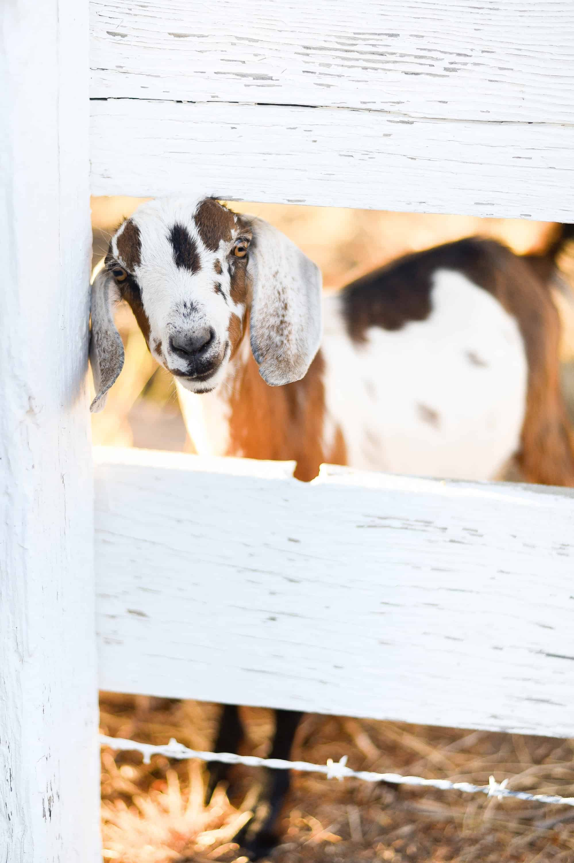 15 Things I Wish I Knew Before Getting Goats | However, it is a common misconception that goats are easy keepers - in fact, they are our most high maintenance animals. They require a close eye and lots of attention, so I thought it would be convenient to compile a list of things I wish I knew before we got goats -if you're considering getting goats,please, learn from my mistakes! #goatcare #goats #goatlife #ranchlife #boxwoodavenue