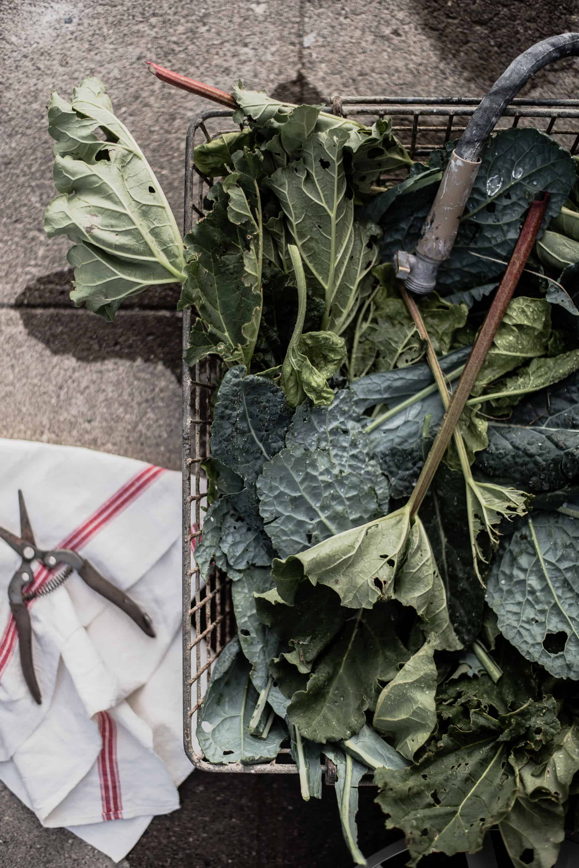 Rhubarb is one of the easiest perennials to grow in your garden!Here's how to plant rhubarb, plus a few amazing recipes!