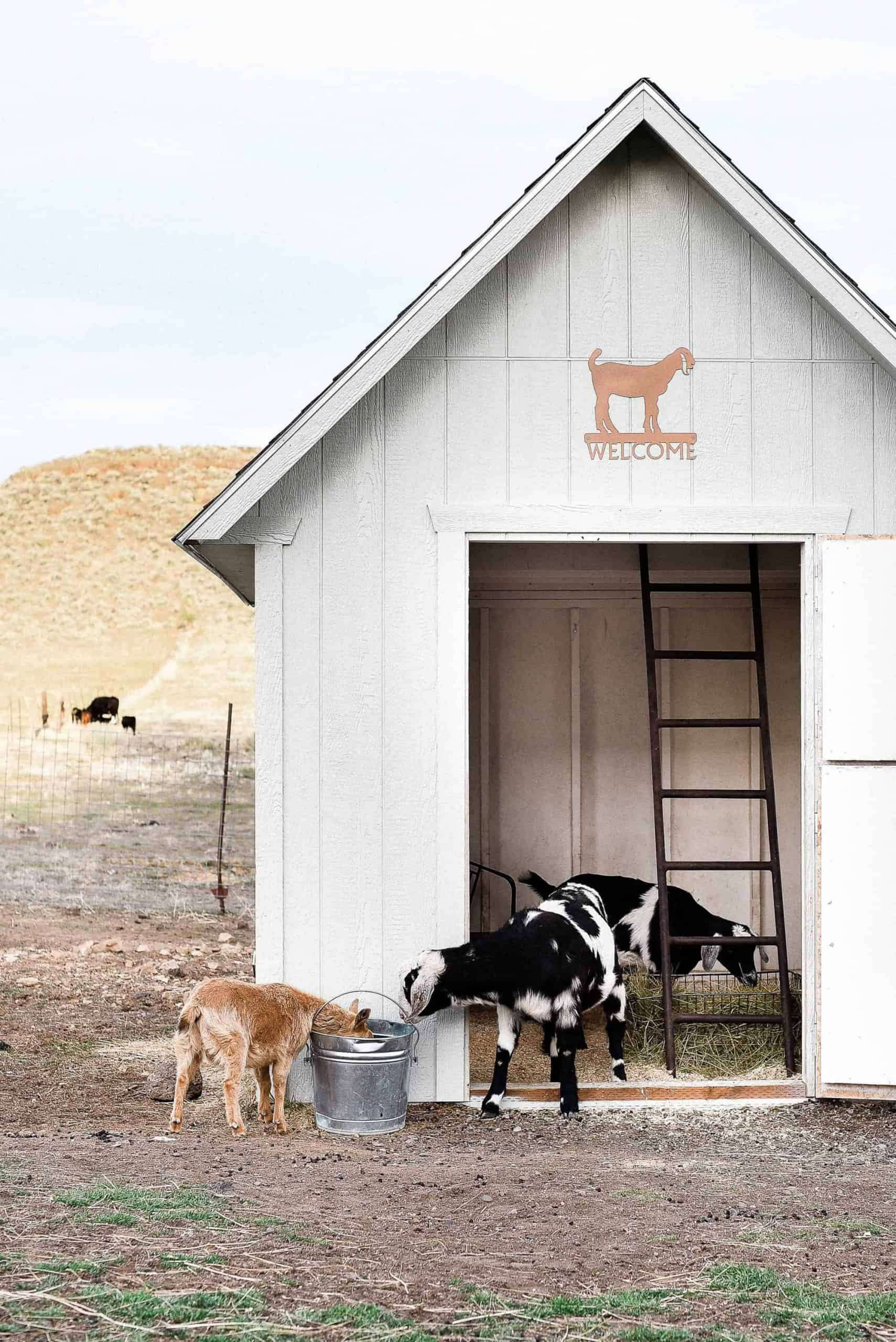 One of the many questions I receive about raising goats and keeping goats as pets is: How do you keep the goat barn clean? Today I am going to share how I keep our goat barn clean and how we keep our pet goats healthy!