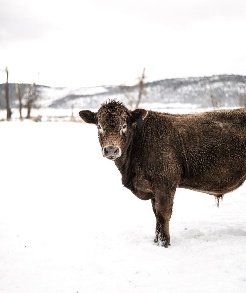 Cow standing in Snowy Field